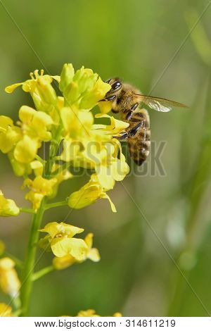 Spring; Bee Pollinating A Yellow Flower , Depth Of Field
