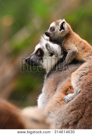 Monkey Lemur With Baby. Photo From Animal Live. Popular Monkey With Nice Baby.