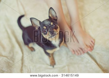 Puppy Paw Next To Baby Foot. A Chihuahua Dog Is Black-brown-white In Color. A Child Loves His Puppy.