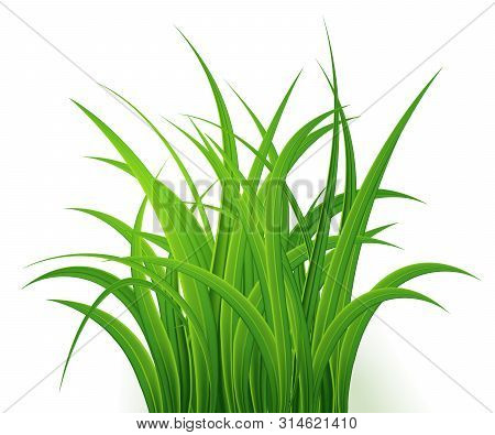 Green Grass Isolated On White Background, Tuft Of Grass, Fresh Spring Grass, Panoramic View, 3d. Vec