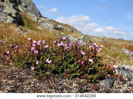 Phyllodoce Caerulea Purple Mountain Heather Growing On Saanatunturi Fell In Finnish Lapland