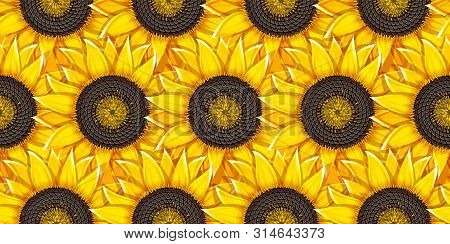 Sunflowers Agricultural Plant Heads With Oil Seeds. Seamless Background. Vector Illustration.
