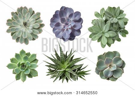 collection of various succulents isolated on a white background, decorative botanical design elements, top view / flat lay