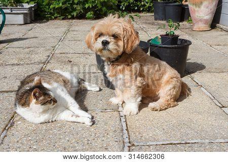 Lhasa Apso Dog Sitting Near A Lying Tabby Cat In A Garden