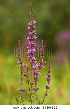 Purple Loosestrife