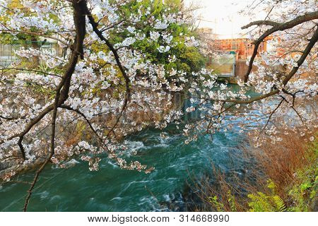 Colorful river banks with sakura cherry trees blossom in Kyoto, Japan