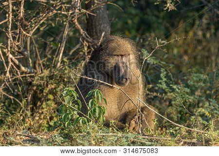 An Adult Chacma Baboon, Papio Ursinus, Sitting Between Vegetation