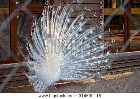 White Peacock (pavo Cristatus Linnaeus) In A Cage Behind Grid In A Zoo.