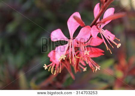 Beautiful Guara Lindheimeri Pink Flower In The Garden
