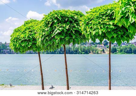 Decorative Trees Catalpa On The Lake. Refining Parks.