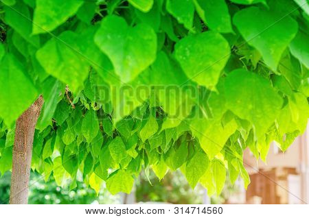 Decorative Trees Catalpa, Green Leaves, Nature Background