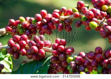 Fresh Red Coffee Berries Beans Background.arabica Coffee Berries In Organic Coffee Plantation
