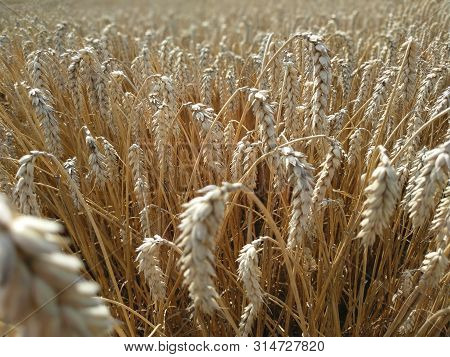 Wheat Field Natural Product. Growth Nature Harvest. Ears Of Golden Wheat Close Up. Rural Scene Under