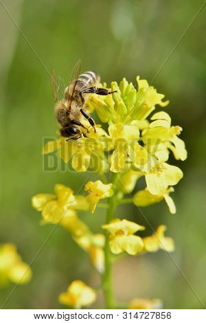 Spring; Bee Pollinating A Yellow Flower , Sunny Day