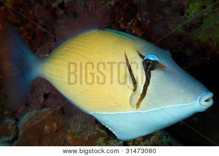 Boomerang Trigger-fish, Maldives