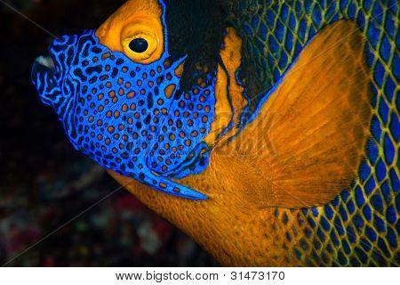 Yellow-mask Angelfish, Maldives