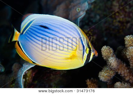 Red-fin Butterfly-fish, Maldives
