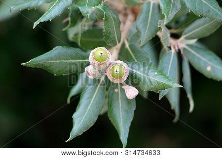 Branch Of Evergreen Oak Or Quercus Ilex Or Holly Oak Or Holm Oak Evergreen Oak Tree With Young Light