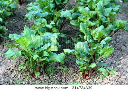 Beetroot Or Beta Vulgaris Or Beet Or Table Beet Or Garden Beet Or Red Beet Or Golden Beet Plants Wit