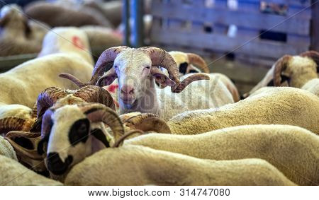 Sacrificial Ram, Domestic Male Sheep Waiting To Be Purchased With Other For The Sacrifice Feast Eve.