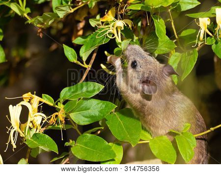 A Small Pack Rat Nibbles On A Honeysuckle Blossom