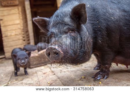 Sow With Piglet On A Farm Looking At The Camera. Big Black Pig In Sty At Farm. Black Sow With Piglet