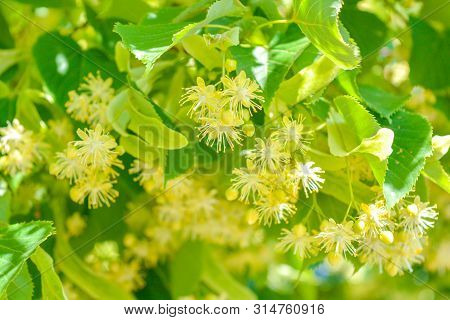 Flowers Of Blossoming Tree Linden Wood, Used For Pharmacy, Apothecary, Natural Medicine And Healing