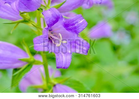 Blooming purple cultivar milky bellflower aka Campanula Lactiflora Prichard Variety in the summer garden poster