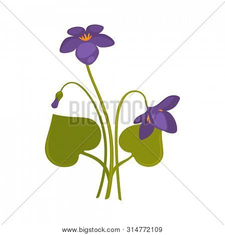 Violets bunch isolated on white close up  picture. Colorful bouquet of forest purple soft flowers with thin green stems and big leaves. One straight and two bent violet flowers on white