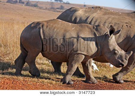B Rhino