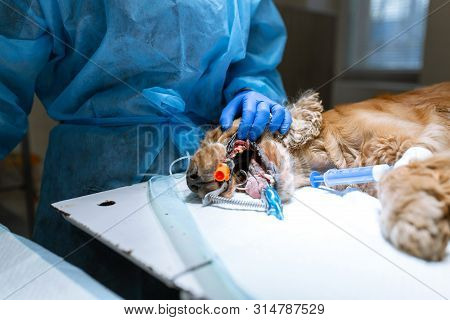 Veterinary dentistry. Dentist surgeon veterinarian cleans and treats a dog's teeth under anesthesia on the operating table in a veterinary clinic. Sanitation of the oral cavity in dogs. poster