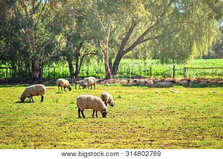 Sheep Grazing On A Daily Farm In Rural South Australia During Winter Season