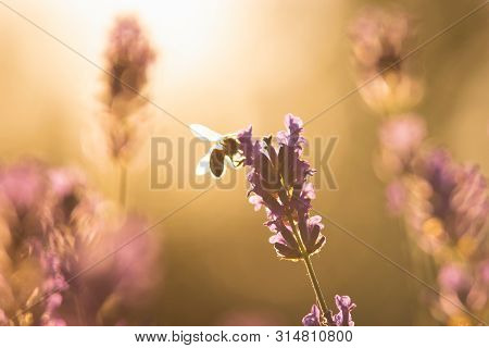 Nature Background Bee On Lavender. Bee Insect In Nature. Nature Insect Bee On Lavender Flowers In Me