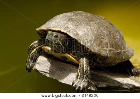 Turtle Is Risting In The Sun