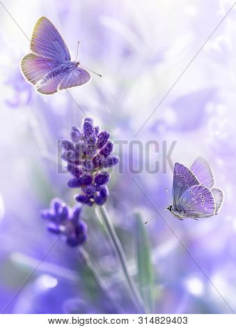 Close-up Lavender Flowers With Morning Dew And Flying Butterflies In Summer Morning Background . Pur