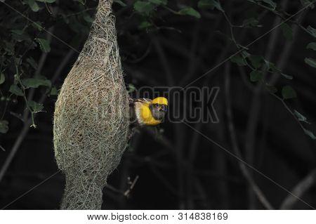 The Bird, Baya Weaver Is Looking On Its Nest.