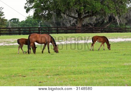 Mare With Colts