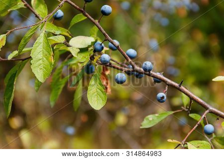 Blackthorn Or Sloe (prunus Spinosa) Berries On A Branch Close-up