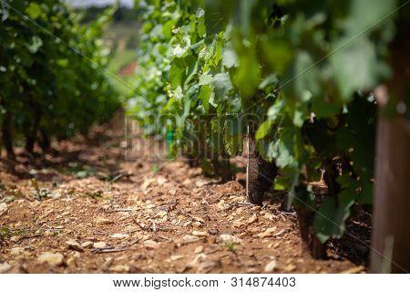 Closeup Panoramic Shot Of Rows Summer Vineyard Scenic Landscape, Plantation, Beautiful Wine Grape Vi