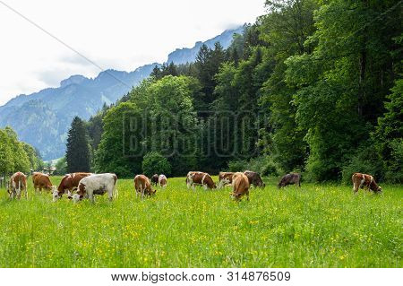 Postcard View. Cows On A Green Field, Grazing On The Green Grass Of A Cows Farmer, A Beautiful Cow L