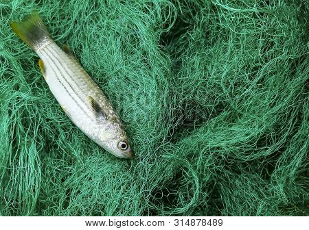 Selective Focus. Grains. Noise Tone. Blue-tail Mullet Or (belanak Fish) Are Surrounded By Green Nets