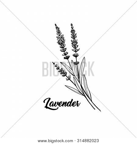 Lavender Black And White Vector Sketch. Fragrant French Wildflower With Title. Violet Summer Honey P