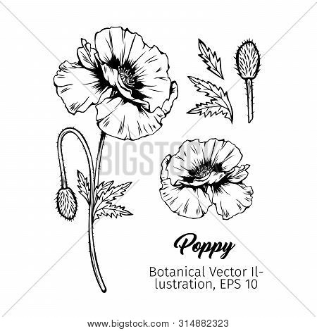 Poppies Flower Botanical Vector Sketches Set. Summer Blooming Honey Plant Black And White Hand Drawn