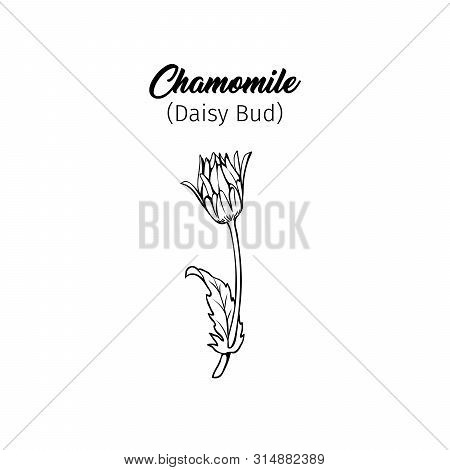 Daisy Bud Freehand Vector Illustration. Young German Chamomile, Matricaria Chamomilla Outline With T