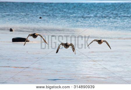 Three Flying Ducks Under Frozen Lake Nature Winter Birds Survive