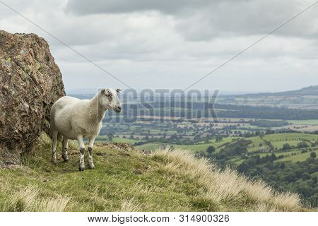 Sheep On A Hill Overlooking English Countryside In Shropshire, Uk