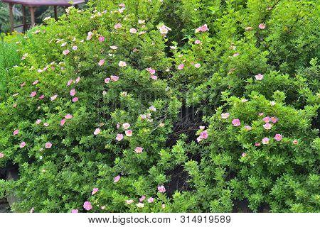 Blooming Cultivar Shrubby Cinquefoil (dasiphora Fruticosa