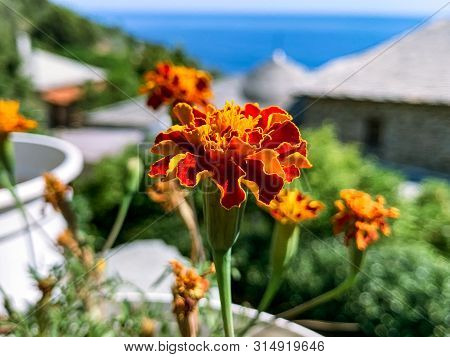 Flowers Of Blackberry In The Monastery Of Mount Athos On The Background Of The Sea And Sky