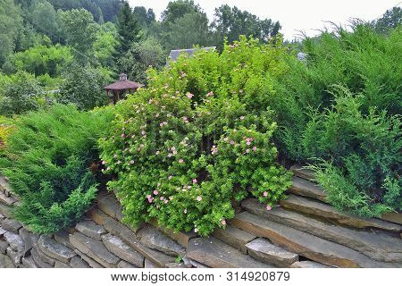 Decorative Evergreen Coniferous Plants - Junipers And Blossoming Pink Shrubby Cinquefoil (dasiphora