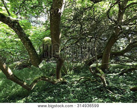 Southern Catalpa, Cigartree, Indian-bean-tree, Trumpet Tree, Catalpa Bignonioides Or Trompetenbaum (